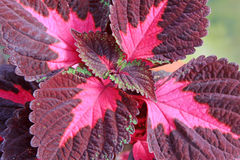 Closeup av coleusväxter Arkivbild