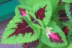 Closeup av coleusväxter Arkivfoton