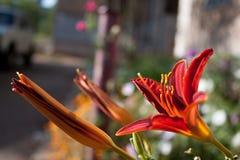 Closeup av de orange liljorna i parkera Arkivfoto
