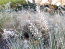 Closeup av dekorativa gräs i stads- trädgård arkivfoton