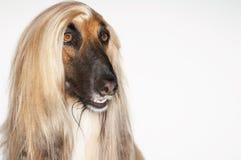 Closeup av den afghanska hunden royaltyfri foto