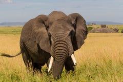 Closeup av den afrikanska elefanten royaltyfria foton