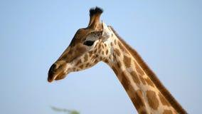 Closeup av den afrikanska giraffet lager videofilmer