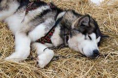 Closeup av den alaskabo malamuten som sover i kugghjul Royaltyfria Foton
