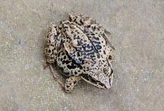 Closeup av den amfibiska svarta fläcken för brun ranagroda Royaltyfri Fotografi