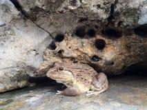 Closeup av den asiatiska flodgrodan (den Limnonectes blythiien) Royaltyfri Fotografi