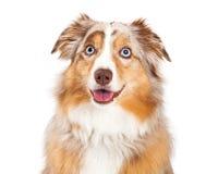 Closeup av den australiska herden Dog Sitting Royaltyfri Bild