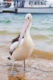 Closeup av den australiska pelikan Fotografering för Bildbyråer
