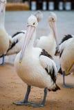 Closeup av den australiska pelikan Arkivfoton