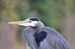 Closeup av den blåa heronen Royaltyfria Bilder