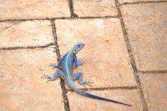 Closeup av den blåa manliga agamaen som värma sig på stenlagt konkret golv fotografering för bildbyråer