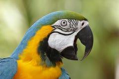 Closeup av den blåa och guld- aran Royaltyfri Fotografi