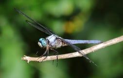 Closeup av den blåa sländan Arkivbilder