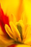 Closeup av den blommande gula tulpanblomman Arkivbilder