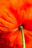 Closeup av den blommande röda vallmoblomman Royaltyfria Bilder
