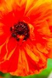 Closeup av den blommande röda vallmoblomman Fotografering för Bildbyråer