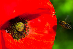Closeup av den blommande röda vallmoblomman med ett bi Royaltyfria Bilder