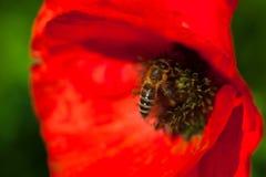 Closeup av den blommande röda vallmoblomman med ett bi Arkivbilder