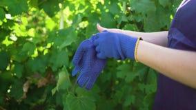 Closeup av den caucasian kvinnlign i förklädet som sätter på blått som arbeta i trädgården handskar stock video