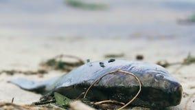 Closeup av den döda laxen, flugor som täcker den förgiftade fisken, vattenföroreningsfråga arkivfilmer