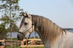 Closeup av den gråa Andalusian hästen Arkivbild