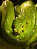 Closeup av den gröna trädpytonormen fotografering för bildbyråer