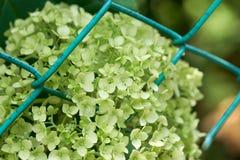 Closeup av den gröna vanlig hortensiavanlig hortensiamacrophyllaen arkivbild