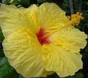 Closeup av den gula hibiskusen Royaltyfri Foto