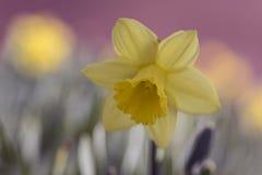 Closeup av den gula påskliljablomman Fotografering för Bildbyråer