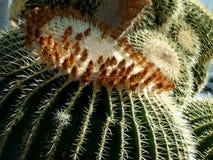 Closeup av den guld- bollkaktuns 2 arkivbilder