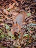 Closeup av den gulliga ekorren i en höstskog mellan stupade sidor Arkivfoto