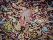 Closeup av den gulliga ekorren i en höstskog mellan stupade sidor Royaltyfria Bilder