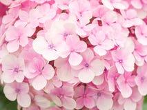 Closeup av den härliga blomman, färgrika vanliga hortensior Royaltyfria Bilder