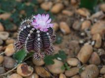 Closeup av den härliga blommande kaktuns Royaltyfri Bild