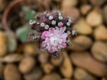 Closeup av den härliga blommande kaktuns Arkivfoton