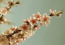 Closeup av den härliga blommande persikan Arkivfoton