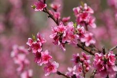 Closeup av den härliga blommande persikan Royaltyfria Foton