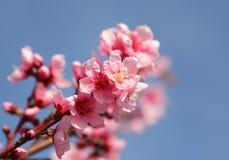 Closeup av den härliga blommande persikan Royaltyfri Foto