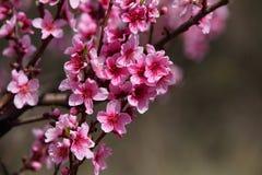 Closeup av den härliga blommande persikan Arkivbilder
