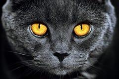 Closeup av den härliga lyxiga ursnygga gråa brittiska katten med vibra royaltyfria bilder