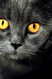 Closeup av den härliga lyxiga ursnygga gråa brittiska katten med vibra fotografering för bildbyråer