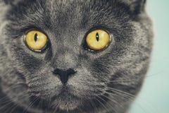 Closeup av den härliga lyxiga ursnygga gråa brittiska katten med vibra royaltyfri fotografi