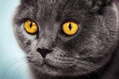 Closeup av den härliga lyxiga ursnygga gråa brittiska katten med vibra royaltyfria foton