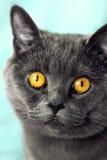 Closeup av den härliga lyxiga ursnygga gråa brittiska katten med vibra royaltyfri bild