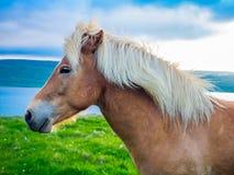 Closeup av den icelandic hästen royaltyfria bilder