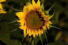 Closeup av den individuella solrosen i sydliga Frankrike royaltyfri fotografi