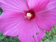 Closeup av den knaprade rosa hibiskusvildblomman med den gula nyckelpigan på mitten royaltyfria foton