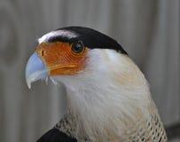 Closeup av den krönade caracaraen Fotografering för Bildbyråer