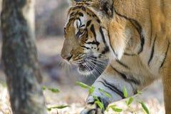 Closeup av den kungliga Bengal tigern Arkivfoton