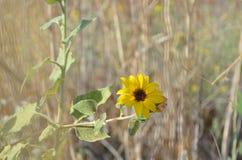 Closeup av den lösa solrosen i ett fält Arkivfoton